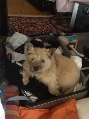 The cutest Cairn Terriers
